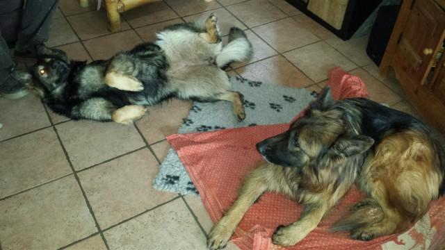 Régate et Daiko apprécient le confort de la maison !