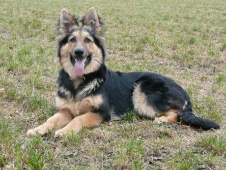 Fricko altdeutsche schäferhunde