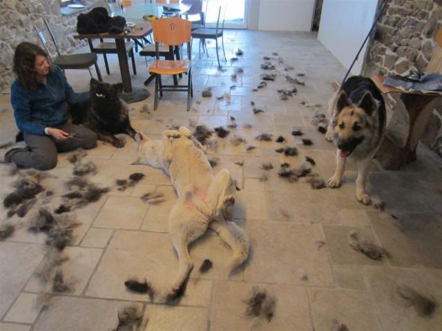 L'Altdeutscher Schäferhund à beaucoup de poil !!!