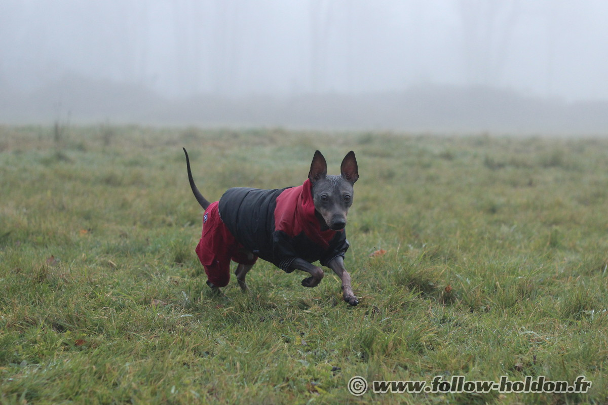 Burton un American Hairless Terrier