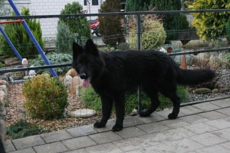 Finn un splendide Altdeutscher Schäferhund