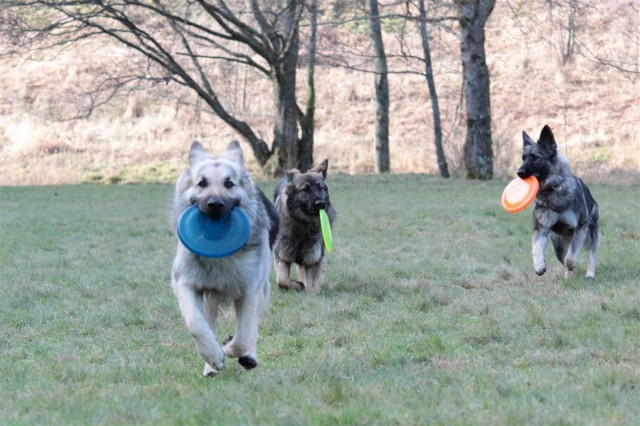 3 chiens, 3 frisbees !