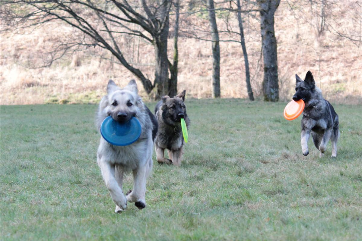 3 chiens, 3 frisbies !