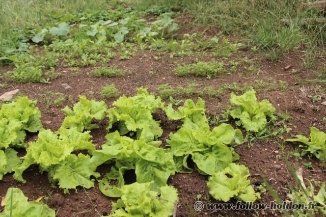 Salades et laitues épargnées des limaces