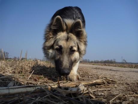 Le maïs c'est pas bon pour les chiens mais les pieds de maïs oui !