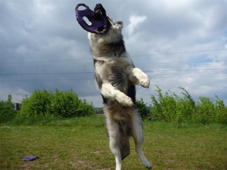 Je saute très haut pour attraper mes frisbee !